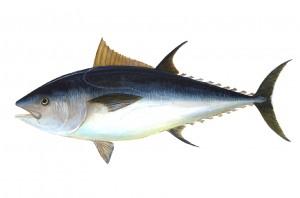 Bluefin-big